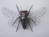 17 yr Cicada